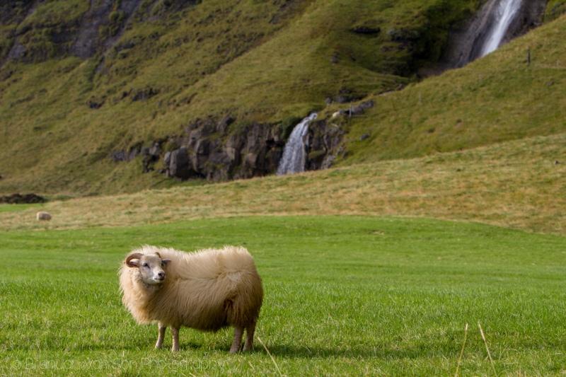 Sheep, Iceland