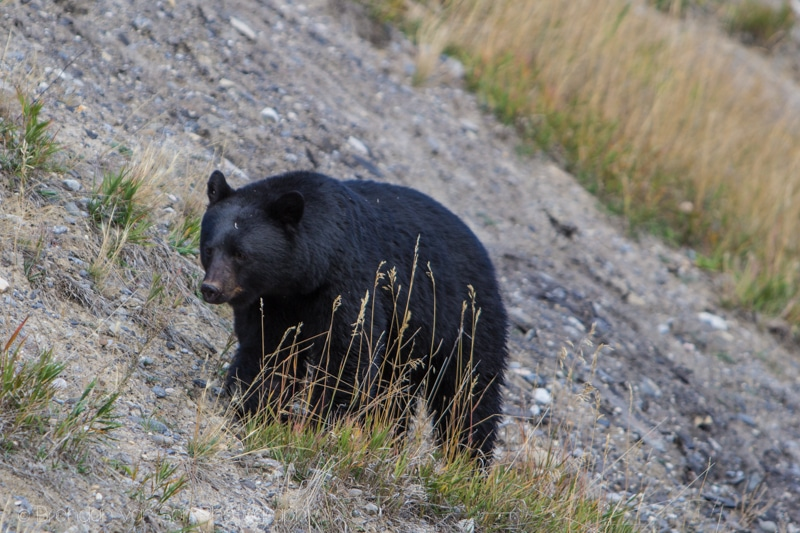 black bear, banff national park