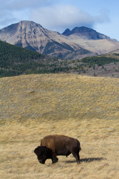 Bison, Waterton Lakes National Park
