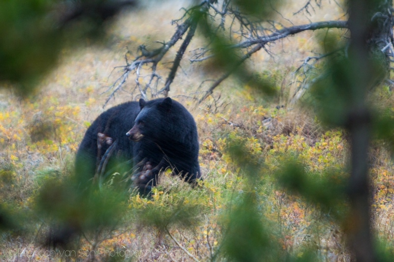 Black Bear, Waterton Lakes National Park