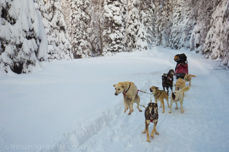 Dogsledding Jasper