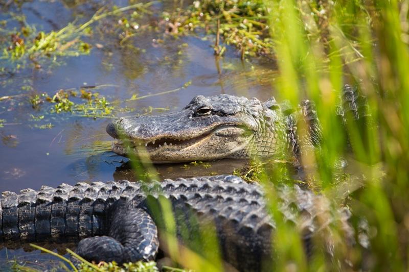 Gator, Everglades National Park, Florida
