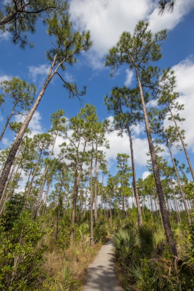 Pine Forest, Everglades National Park, Florida