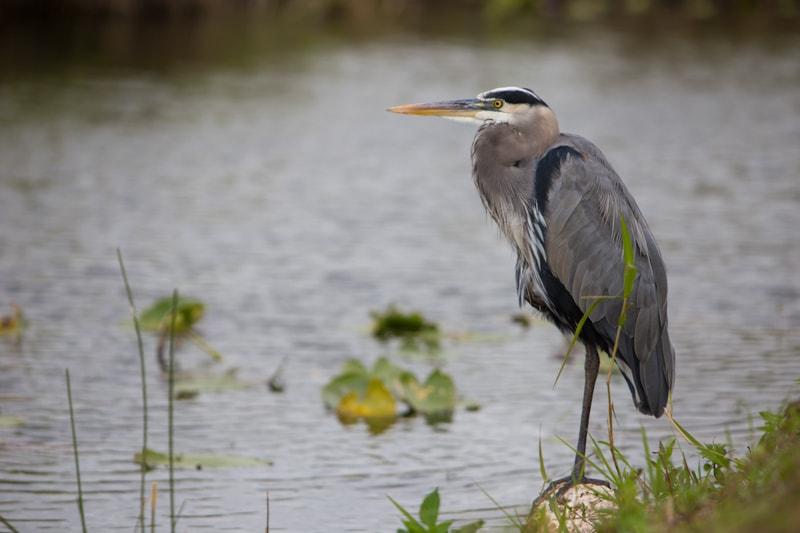 Blue Heron, Everglades National Park, Florida