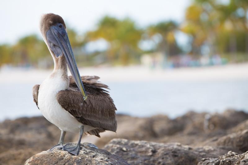 Brown Pelican, Key West