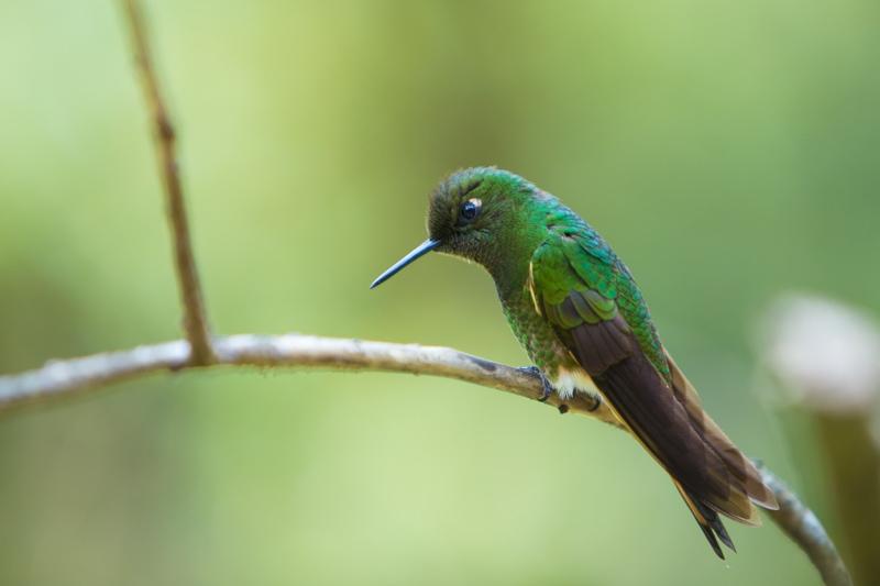 Salento, Colombia, Hummingbird