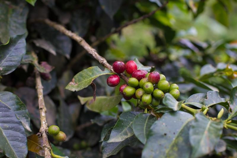 Coffee, Salento, Colombia