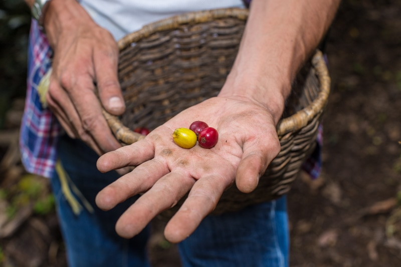 Coffee beans, Salento, Colombia