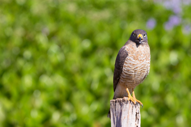 Roadside Hawk, Pantanal