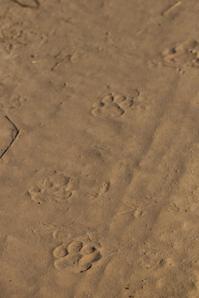Jaguar tracks