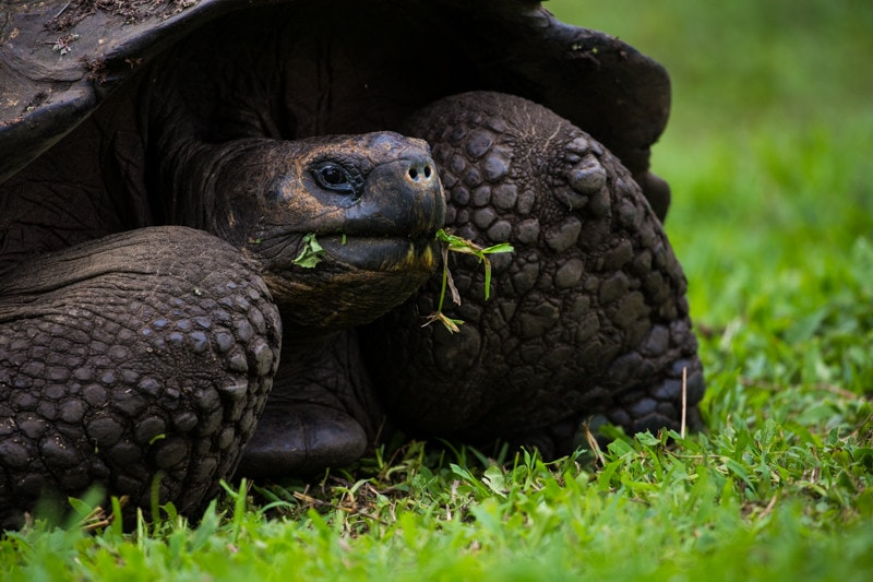 Tortoise on Santa Cruz Island