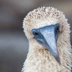 Reviewing the Canon 100-400mm f/4.5-5.6 ii IS in the Galapagos