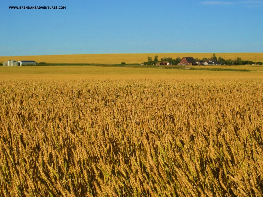 Wheat growing on the Alberta Prairies