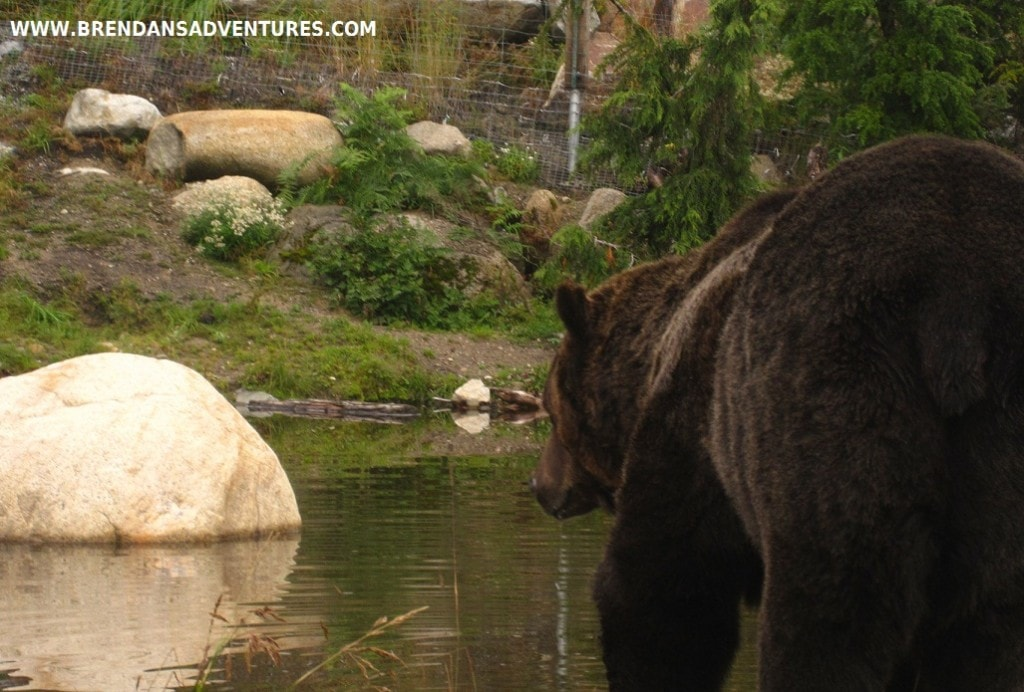 A grizzly bear making hiking towards a pond