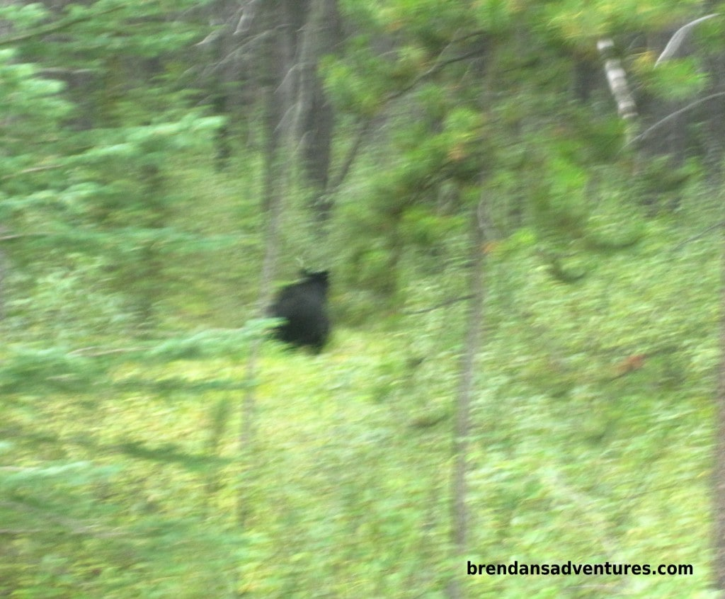The usual shot you get of black bears