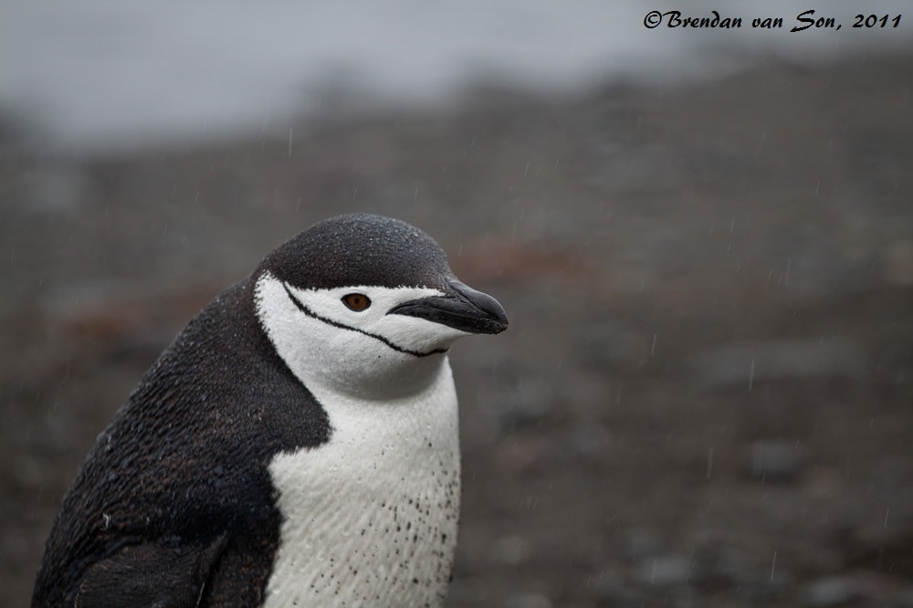"""Rained out"" - Penguins are some weird sort of hybrid between dolphins and birds, and they never seemed to mind the rain. However, at the beach they would stand for hours just cleaning themselves off."