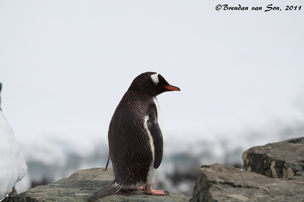 """Walk of Shame"" - The reason I started doing the ""penguin thoughts"" segment was because as I looked back at these pictures I couldn't help but want to put captions over each of their little heads."