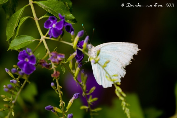 Filadelfia, Paraguay, butterfly