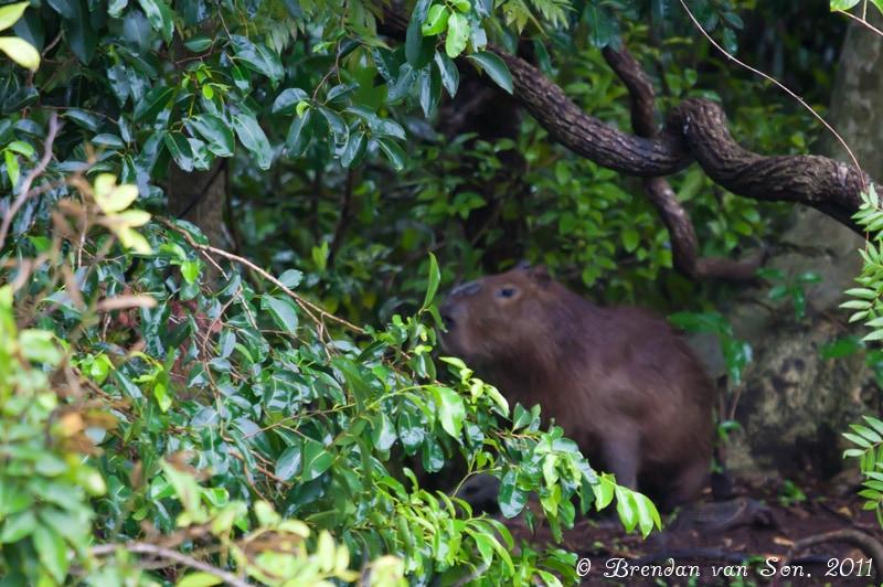 Capibera, Pantanal, Brazil