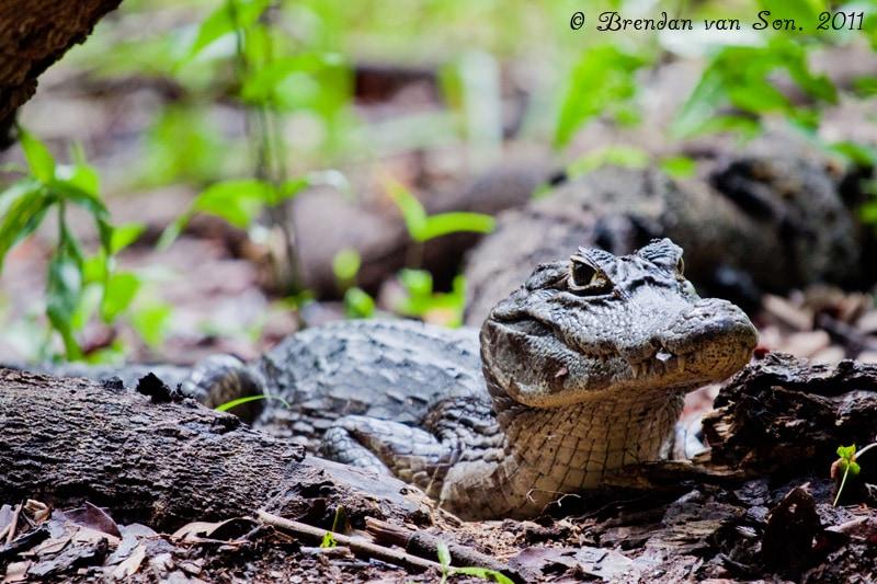 Cayman, Pantanal, Brazil