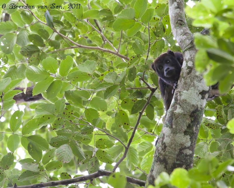 Howler Monkey, Pantanal, Brazil