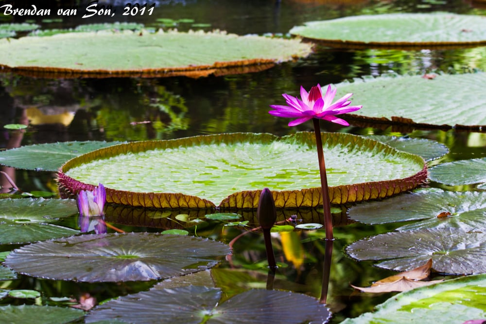 Lily pad Reflexion