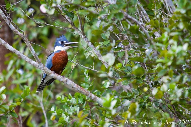 Kingfisher, Bird, Pantanal, Brazil