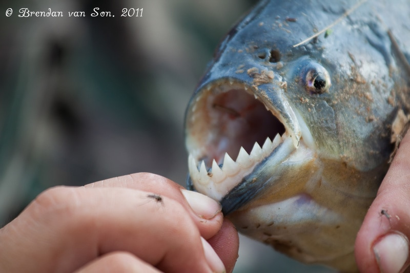 piranha, fishing, pantanal, brazil, teeth