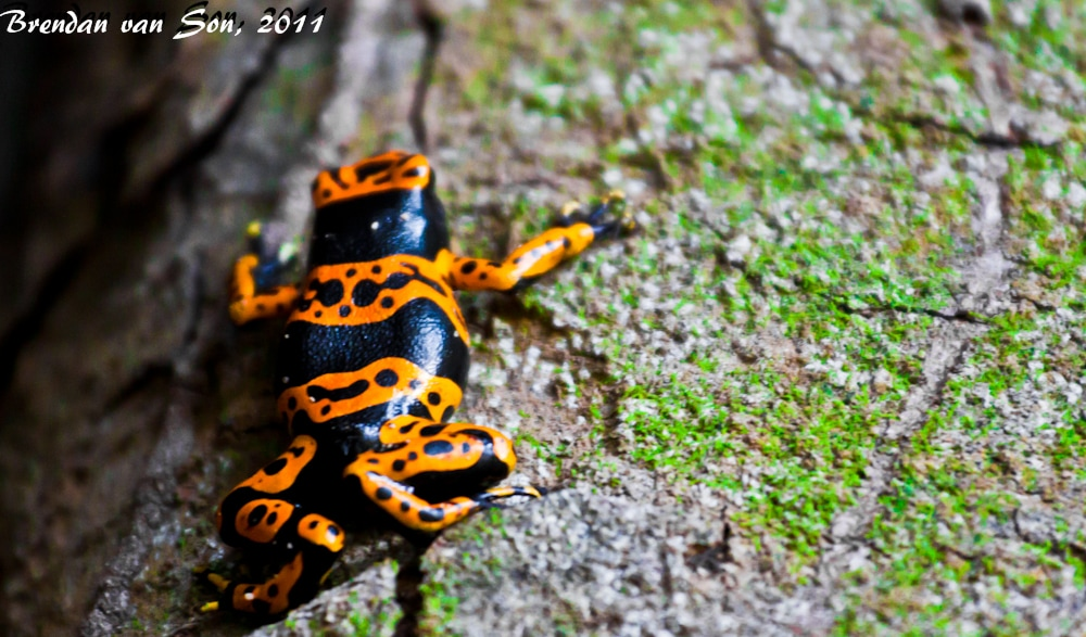 Poison Arrow Dart Frog