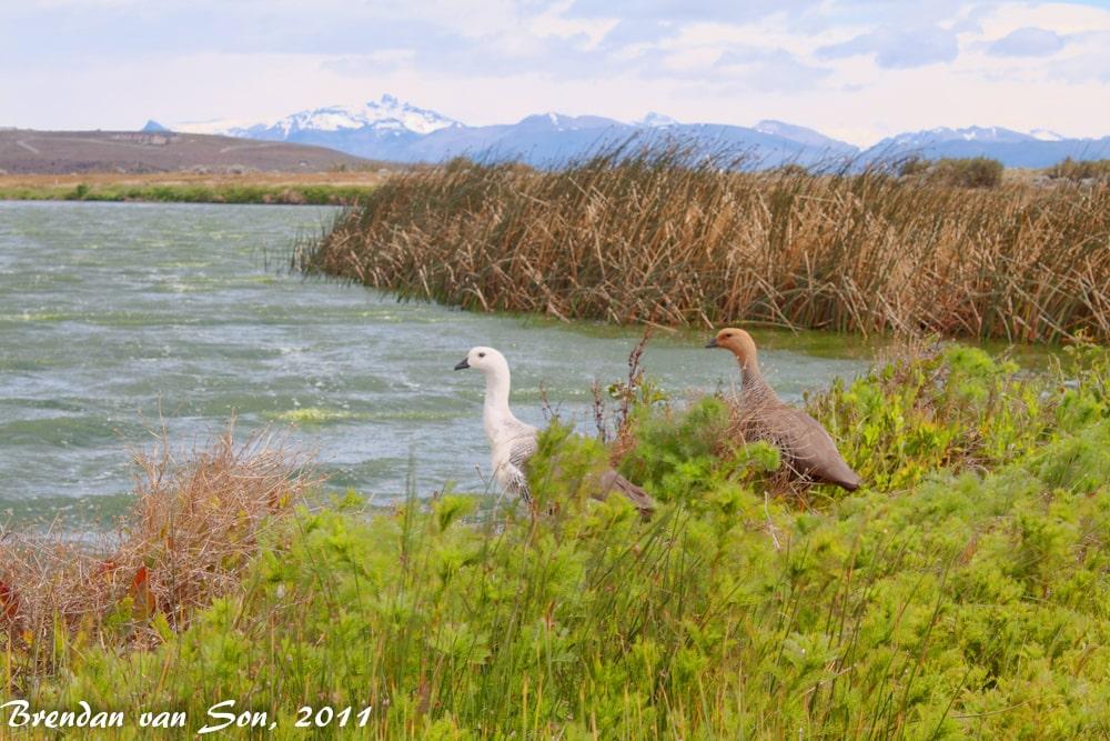 Argentine bird life