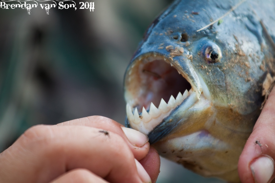 Piranha Teeth in the Pantanal