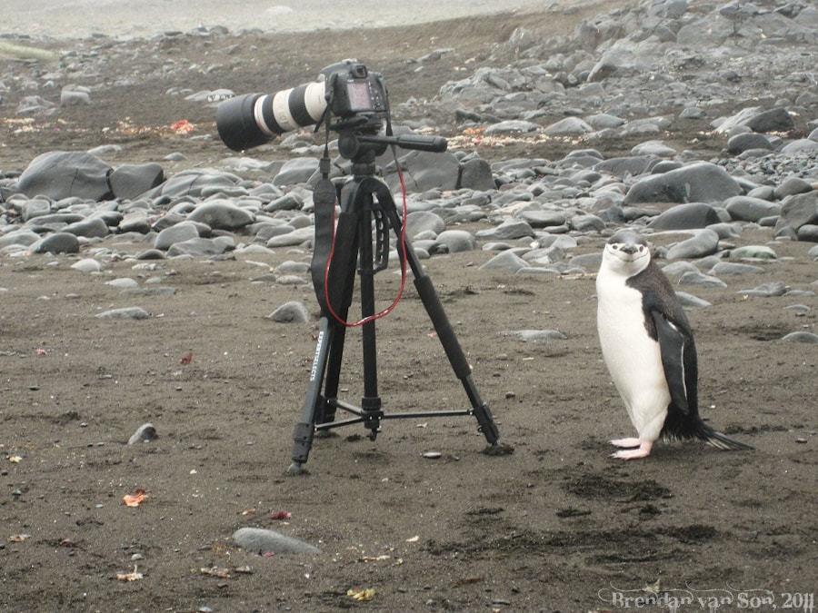 Camera tripod and penguin