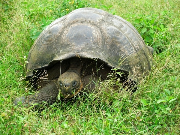 Galapagos tortoise in the wildlife