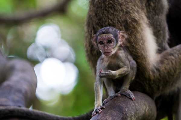 Baby Vervet Monkey in Bijilo Forest Park