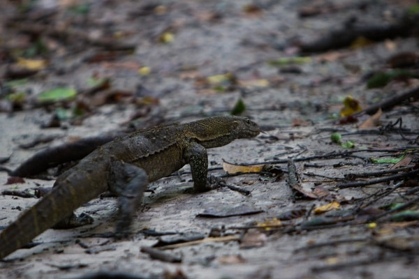 A meter long monitor lizard in Abuko Nature reserve.
