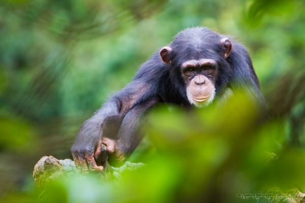 Sierra Leone Tourism tcugama chimpanzee