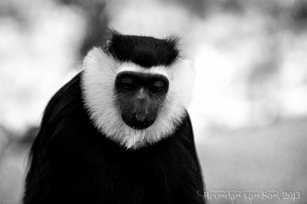 Black and White Colobus monkey, Boabeng-Fiema