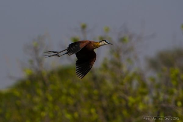 Burkina Faso, bird