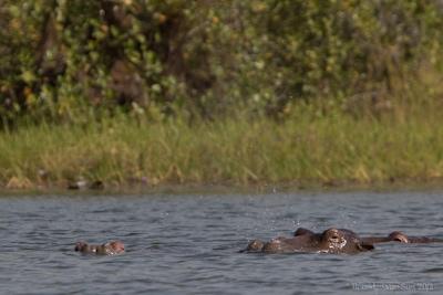 Hippos Tengrela Lake