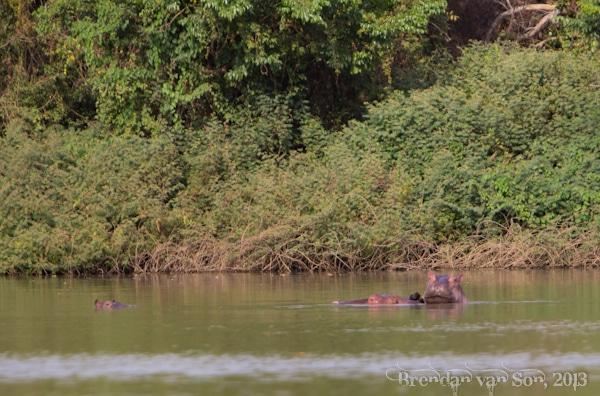 wechiau hippos