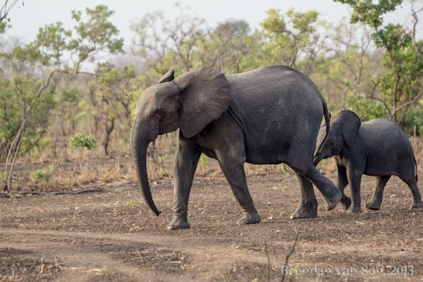 elephant, burkina faso