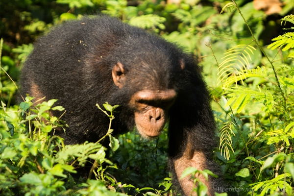 Chimpanzee, Afi Drill Ranch