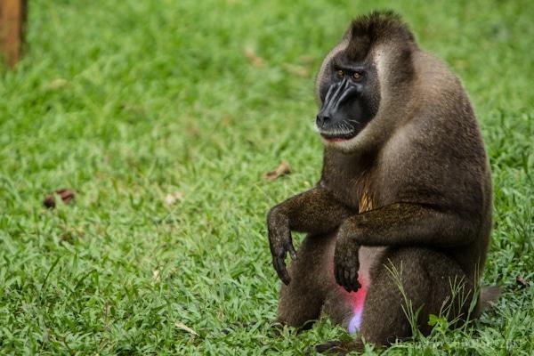 Drill Monkey, Afi Drill Ranch