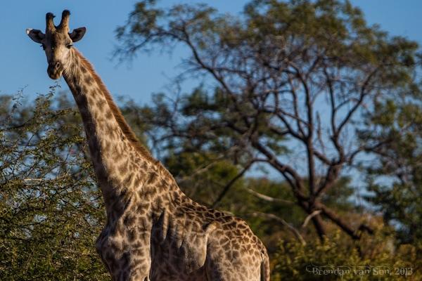 giraffe, Livingstone, Zambia