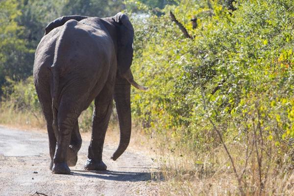 Zambezi River, Elephant