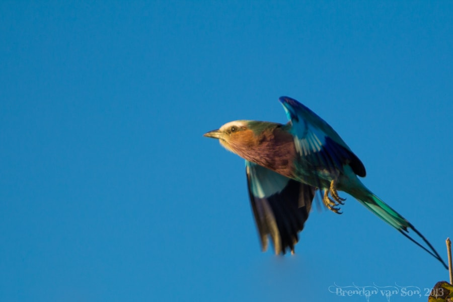 Lilac-breasted roller, Chobe National Park
