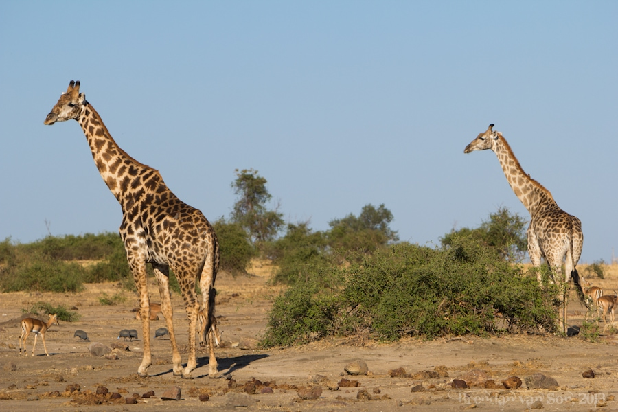 Chobe National Park, giraffe