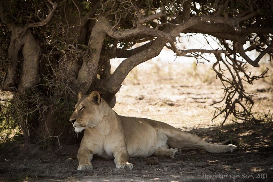 Chobe National Park, lion