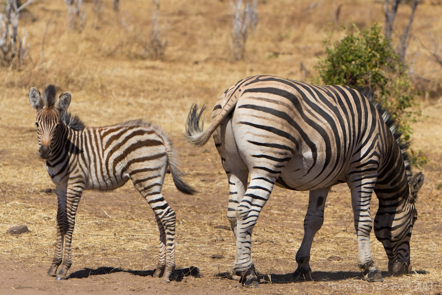 zebra, Chobe National Park