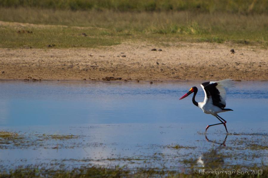 stork, Chobe National Park